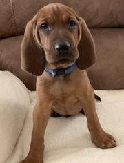 View Ad Redbone Hound Puppy For