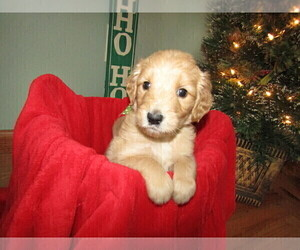 Goldendoodle Puppy for sale in DELTON, MI, USA