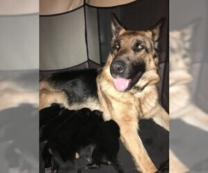 Mother of the German Shepherd Dog puppies born on 03/04/2019