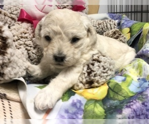 Maltese-Poodle (Toy) Mix Puppy for Sale in CONOWINGO, Maryland USA