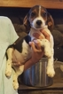 Beagle Puppy For Sale in LAGRANGE, IN,