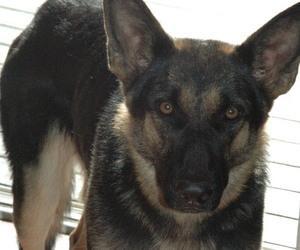 German Shepherd Dog Puppy for sale in HAMILTON, VA, USA