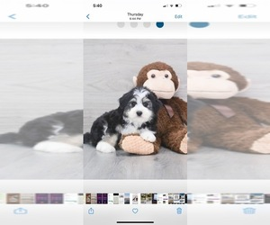 F2 Aussiedoodle Puppy for Sale in QUINLAN, Texas USA