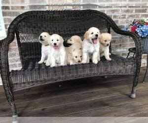 Goldendoodle Puppy for Sale in PALM BAY, Florida USA