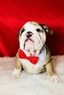 Bulldog Puppy For Sale in CRANSTON, Rhode Island,