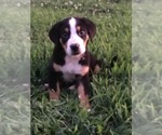 Small Greater Swiss Mountain Dog