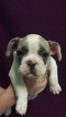 French Bulldog Puppy For Sale in PEARL RIVER, LA