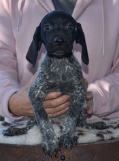 German Shorthaired Pointer Puppy For Sale in GAINESVILLE, GA, USA