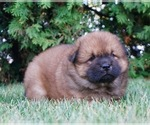Puppy 8 Chow Chow