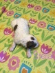 Aussiedoodle Puppy For Sale in WAUSEON, OH,
