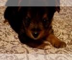 Small #5 Yoranian-Yorkshire Terrier Mix