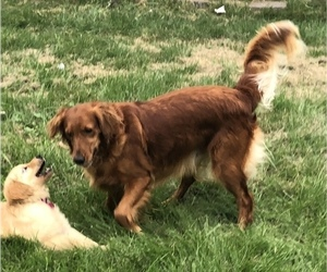 Mother of the Golden Retriever puppies born on 06/12/2019