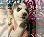 Small #22 Siberian Husky