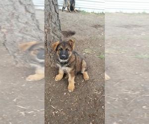 German Shepherd Dog Puppy for sale in SPOKANE, WA, USA