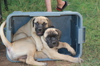 Bullmastiff Puppy For Sale in SPRINGFIELD, MO, USA