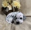Small #7 Dalmatian