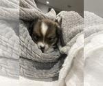Small #7 Cardigan Welsh Corgi-Pomeranian Mix
