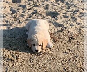 Boxador-Golden Retriever Mix Puppy for Sale in MASHPEE, Massachusetts USA