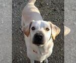 Small #459 Labrador Retriever Mix
