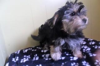 Yo-Chon Puppy For Sale in PATERSON, NJ