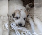 Small #28 Great Pyrenees
