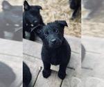 German Shepherd Dog Puppy For Sale near 61282, Silvis, IL, USA
