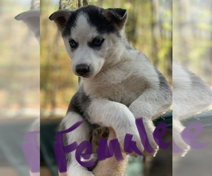 Siberian Husky Puppy for sale in WILLIAMSBURG, VA, USA