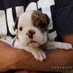 Bulldog Puppy For Sale in GAP, PA, USA