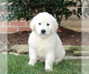 Golden Retriever Puppy for sale in NEW PROVIDENCE, PA, USA