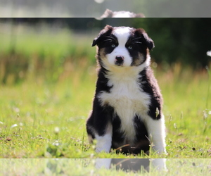 Australian Shepherd Puppy for Sale in CHEHALIS, Washington USA