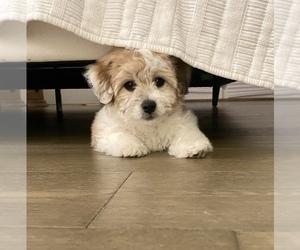 Coton de Tulear Puppy for sale in SAN ANTONIO, TX, USA