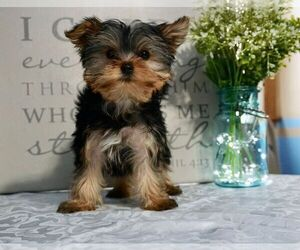 Yorkshire Terrier Puppy for Sale in NAPPANEE, Indiana USA