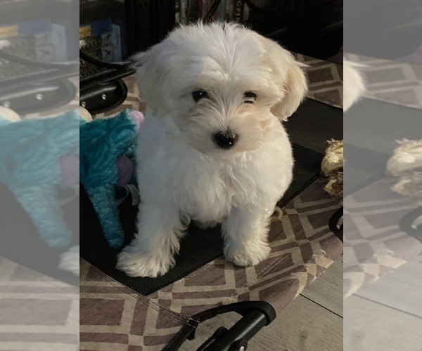 Medium Photo #1 Morkie Puppy For Sale in FORT WORTH, TX, USA