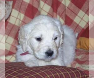 Goldendoodle Puppy for sale in CHILLICOTHE, OH, USA