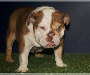 Mother of the English Bulldog puppies born on 06/28/2020