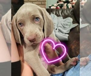Weimaraner Puppy for Sale in GIRARD, Ohio USA