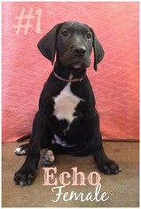 Great Dane Puppy for sale in MC ALISTERVILLE, PA, USA