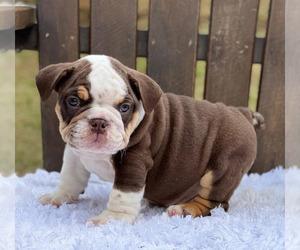 Bulldog Puppy for sale in FISHER ISLAND, FL, USA