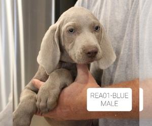 Weimaraner Puppy for Sale in BERESFORD, South Dakota USA