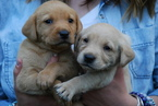Labrador Retriever Puppy For Sale in ALLEGAN, MI, USA