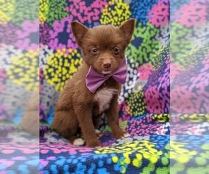 Pomsky Dog for Adoption in ATGLEN, Pennsylvania USA