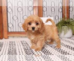Cavachon Puppy for sale in NAPLES, FL, USA