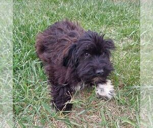 Australian Shepherd-Poodle (Toy) Mix Puppy for sale in AINSWORTH, NE, USA