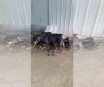 Small #56 Rottweiler
