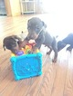 Doberman Pinscher Puppy For Sale in ZIONVILLE, NC, USA