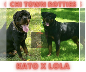 Rottweiler Puppy for sale in FLOSSMOOR, IL, USA