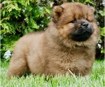 Small #3 Chow Chow