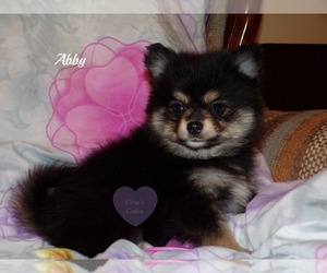 Pomeranian Dog for Adoption in ELKLAND, Missouri USA