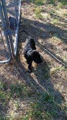 Great Dane Puppy For Sale in CALHOUN, IL, USA
