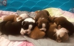 Olde English Bulldogge Puppy For Sale in CRESTVIEW, FL, USA